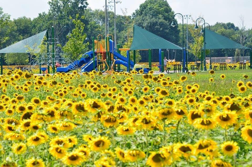 Sunflower Field at Blue River Park